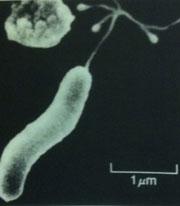 ピロリ 菌 ヨーグルト